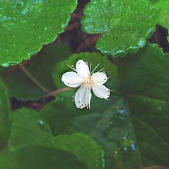 Flowers: Rubus dalibarda. ~ By Arthur Haines. ~ Copyright © 2019. ~ arthurhaines[at]wildblue.net