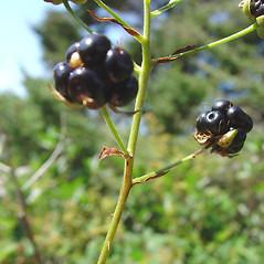 Fruits: Rubus elegantulus. ~ By Glen Mittelhauser. ~ Copyright © 2020 Glen Mittelhauser. ~ www.mainenaturalhistory.org