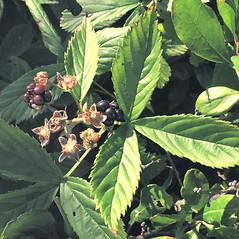 Fruits: Rubus elegantulus. ~ By Marilee Lovit. ~ Copyright © 2020 Marilee Lovit. ~ lovitm[at]gmail.com