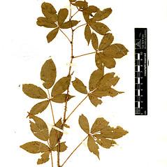 Plant form: Rubus elegantulus. ~ By William and Linda Steere and the C.V. Starr Virtual Herbarium. ~ Copyright © 2020 William and Linda Steere and the C.V. Starr Virtual Herbarium. ~ Barbara Thiers, Director; bthiers[at]nybg.org ~ C.V. Starr Herbarium - NY Botanical Gardens