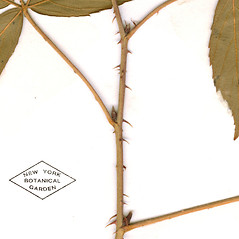 Winter buds: Rubus elegantulus. ~ By William and Linda Steere and the C.V. Starr Virtual Herbarium. ~ Copyright © 2019 William and Linda Steere and the C.V. Starr Virtual Herbarium. ~ Barbara Thiers, Director; bthiers[at]nybg.org ~ C.V. Starr Herbarium - NY Botanical Gardens