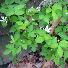 Plant form: Rubus enslenii. ~ By Arthur Haines. ~ Copyright © 2021. ~ arthurhaines[at]wildblue.net