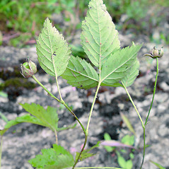 Leaves: Rubus enslenii. ~ By Arthur Haines. ~ Copyright © 2021. ~ arthurhaines[at]wildblue.net