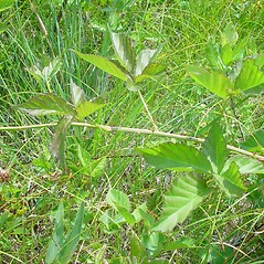 Plant form: Rubus flagellaris. ~ By Arthur Haines. ~ Copyright © 2021. ~ arthurhaines[at]wildblue.net