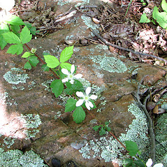 Plant form: Rubus flagellaris. ~ By Karen Searcy. ~ Copyright © 2021 Karen Searcy. ~ ksearcy[at]bio.umass.edu