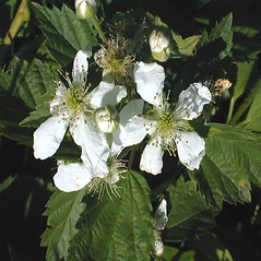 Flowers: Rubus frondosus. ~ By John Hilty. ~ Copyright © 2020 John Hilty. ~ john[at]illinoiswildflowers.info ~ Illinois Wildflowers - www.illinoiswildflowers.info/index.htm