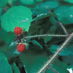 Fruits: Rubus idaeus. ~ By John Lynch. ~ Copyright © 2019 New England Wild Flower Society. ~ Image Request, images[at]newenglandwild.org