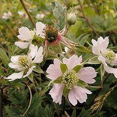 Flowers: Rubus laciniatus. ~ By David G. Smith. ~ Copyright © 2020. ~ dgsmith3[at]gmail.com ~ Delaware Wildflowers - delawarewildflowers.org/