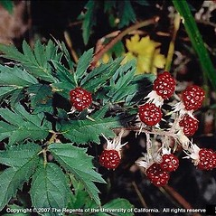 Fruits: Rubus laciniatus. ~ By Joseph DiTomaso. ~ Copyright © 2020 CC BY-NC 3.0. ~  ~ Bugwood - www.bugwood.org/