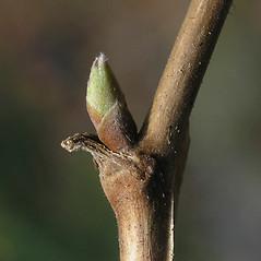 Winter buds: Rubus odoratus. ~ By Bruce Patterson. ~ Copyright © 2020 Bruce Patterson. ~ foxpatterson[at]comcast.net