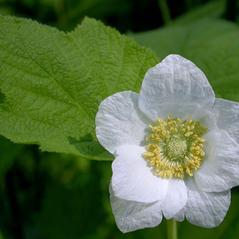 Flowers: Rubus parvifolius. ~ By Keir Morse. ~ Copyright © 2021 Keir Morse. ~ www.keiriosity.com ~ CalPhotos - calphotos.berkeley.edu/flora/