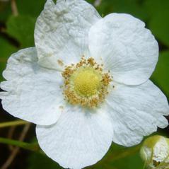 Flowers: Rubus parvifolius. ~ By Zoya Akulova. ~ Copyright © 2021 CC BY-NC 3.0. ~ zakulova[at]yahoo.com ~ CalPhotos - calphotos.berkeley.edu/flora/