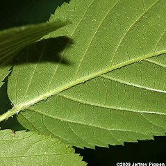 Leaves: Rubus pensilvanicus. ~ By Jeffrey S. Pippen. ~ Copyright © 2021 Jeffrey S. Pippen. ~ jspippen[at]duke.edu ~ Jeff's Plant Page - www.duke.edu/~jspippen/plants/plants.htm