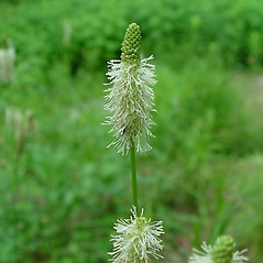 Flowers: Sanguisorba canadensis. ~ By Arthur Haines. ~ Copyright © 2020. ~ arthurhaines[at]wildblue.net