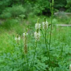 Plant form: Sanguisorba canadensis. ~ By Arthur Haines. ~ Copyright © 2021 Arthur Haines. ~ arthur.d.haines[at]gmail.com