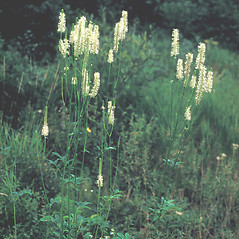 Plant form: Sanguisorba canadensis. ~ By Frank Bramley. ~ Copyright © 2020 New England Wild Flower Society. ~ Image Request, images[at]newenglandwild.org