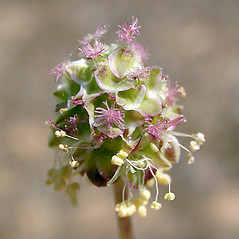 Flowers: Sanguisorba minor. ~ By Keir Morse. ~ Copyright © 2020 Keir Morse. ~ www.keiriosity.com ~ www.keiriosity.com