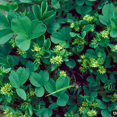 Plant form: Sibbaldia procumbens. ~ By Dave Powell. ~ Copyright © 2020 CC BY-NC 3.0. ~  ~ Bugwood - www.bugwood.org/
