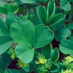 Leaves: Sibbaldia procumbens. ~ By Dave Powell. ~ Copyright © 2020 CC BY-NC 3.0. ~  ~ Bugwood - www.bugwood.org/