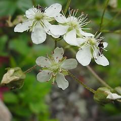 Flowers: Sibbaldiopsis tridentata. ~ By Glen Mittelhauser. ~ Copyright © 2021 Glen Mittelhauser. ~ www.mainenaturalhistory.org