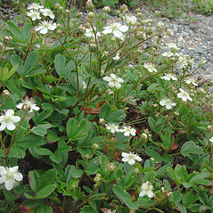 Plant form: Sibbaldiopsis tridentata. ~ By Glen Mittelhauser. ~ Copyright © 2019 Glen Mittelhauser. ~ www.mainenaturalhistory.org
