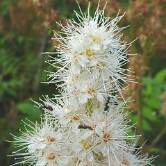 Flowers: Sorbaria sorbifolia. ~ By Glen Mittelhauser. ~ Copyright © 2020 Glen Mittelhauser. ~ www.mainenaturalhistory.org