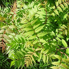 Plant form: Sorbaria sorbifolia. ~ By Arthur Haines. ~ Copyright © 2020. ~ arthurhaines[at]wildblue.net