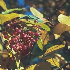 Fruits: Sorbus alnifolia. ~ By Arnold Arboretum. ~ Copyright © 2021 Arnold Arboretum. ~ Arnold Arboretum Horticultural Library, hortlib[at]arnarb.harvard.edu