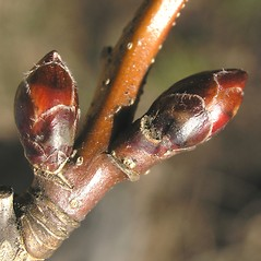 Winter buds: Sorbus alnifolia. ~ By Bruce Patterson. ~ Copyright © 2021 Bruce Patterson. ~ foxpatterson[at]comcast.net