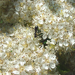 Flowers: Sorbus americana. ~ By Glen Mittelhauser. ~ Copyright © 2021 Glen Mittelhauser. ~ www.mainenaturalhistory.org