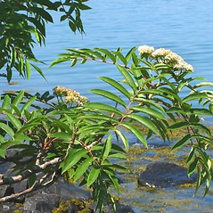 Plant form: Sorbus americana. ~ By Donna Kausen. ~ Copyright © 2020 Donna Kausen. ~ 33 Bears Den, Addison, ME 04606
