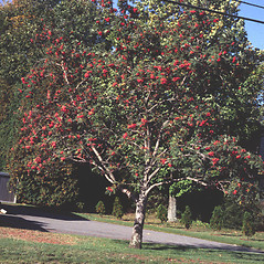 Plant form: Sorbus americana. ~ By Pennie Logemann. ~ Copyright © 2020 New England Wild Flower Society. ~ Image Request, images[at]newenglandwild.org