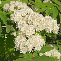Flowers: Sorbus aucuparia. ~ By Charles Brun. ~ Copyright © 2021. ~ brunc[at]wsu.edu ~ Pacific Northwest Plants - www.pnwplants.wsu.edu/