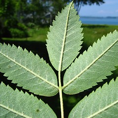Leaves: Sorbus aucuparia. ~ By Donna Kausen. ~ Copyright © 2021 Donna Kausen. ~ 33 Bears Den, Addison, ME 04606