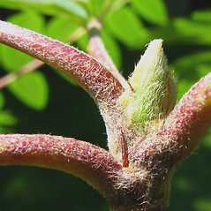 Winter buds: Sorbus aucuparia. ~ By Donna Kausen. ~ Copyright © 2021 Donna Kausen. ~ 33 Bears Den, Addison, ME 04606
