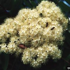 Flowers: Sorbus decora. ~ By Bill Cook. ~ Copyright © 2020 CC BY-NC 3.0. ~  ~ Bugwood - www.bugwood.org/