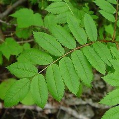 Leaves: Sorbus decora. ~ By Arthur Haines. ~ Copyright © 2021. ~ arthurhaines[at]wildblue.net
