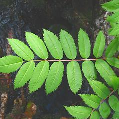 Leaves: Sorbus decora. ~ By Donna Kausen. ~ Copyright © 2021 Donna Kausen. ~ 33 Bears Den, Addison, ME 04606