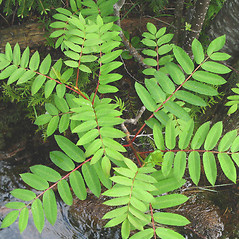 Leaves: Sorbus decora. ~ By Donna Kausen. ~ Copyright © 2021 Donna Kausen. ~ 33 Bears Den, Addison, ME 04606