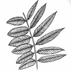 Comparison: Sorbus decora. ~ By Elizabeth Farnsworth. ~ Copyright © 2021 New England Wild Flower Society. ~ Image Request, images[at]newenglandwild.org