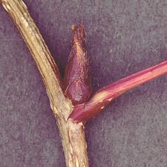 Winter buds: Sorbus decora. ~ By Glen Mittelhauser. ~ Copyright © 2021 Glen Mittelhauser. ~ www.mainenaturalhistory.org
