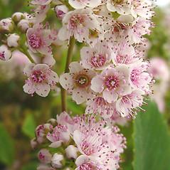 Flowers: Spiraea alba. ~ By Glen Mittelhauser. ~ Copyright © 2020 Glen Mittelhauser. ~ www.mainenaturalhistory.org