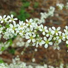 Plant form: Spiraea thunbergii. ~ By Arthur Haines. ~ Copyright © 2021. ~ arthurhaines[at]wildblue.net