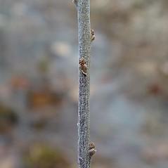 Bark: Spiraea tomentosa. ~ By Arthur Haines. ~ Copyright © 2020. ~ arthurhaines[at]wildblue.net