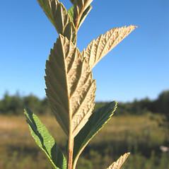 Leaves: Spiraea tomentosa. ~ By Marilee Lovit. ~ Copyright © 2020 Marilee Lovit. ~ lovitm[at]gmail.com