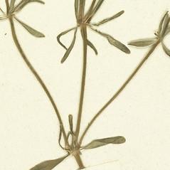 Stems: Asperula arvensis. ~ By Botanic Garden and Botanical Museum Berlin-Dahlem. ~ Copyright © 2020 CC BY-SA. ~  ~ Botanic Garden and Botanical Museum Berlin-Dahlem - ww2.bgbm.org/Herbarium/default.cfm