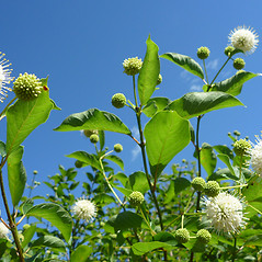 Flowers: Cephalanthus occidentalis. ~ By Dawn Dentzer. ~ Copyright © 2020. ~ dawndentzer[at]gmail.com