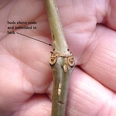 Winter buds: Cephalanthus occidentalis. ~ By Jill Weber. ~ Copyright © 2019 Jill Weber. ~ jillweber03[at]gmail.com