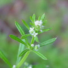 Flowers: Galium aparine. ~ By Arthur Haines. ~ Copyright © 2021. ~ arthurhaines[at]wildblue.net