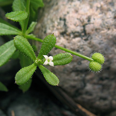 Flowers: Galium aparine. ~ By Marilee Lovit. ~ Copyright © 2020 Marilee Lovit. ~ lovitm[at]gmail.com